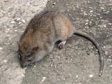 big ugly rat poster