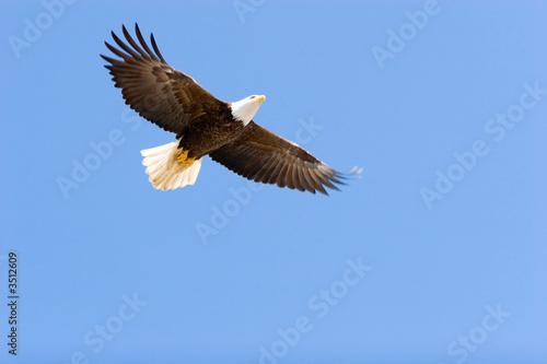 Foto op Canvas Eagle Bald eagle flying