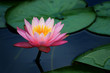 lily pads and lotus flower - 3514443