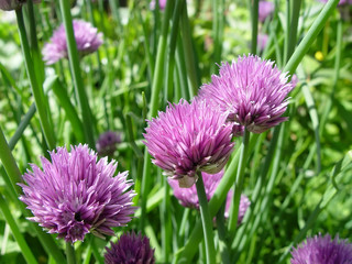 chives ii
