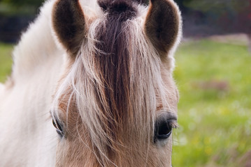 norwegian fjord horse looking at you