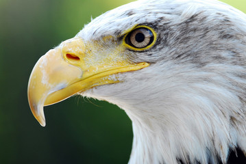 aigle royal 2