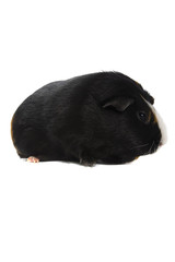 isolated smooth haaired guinea pig