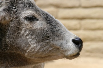 Zebu in Profile