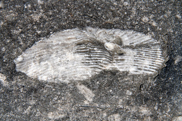 trilobite cast fossil