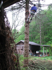 Arborist Man Removing Blue Spruce Tree