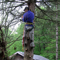 a arborist cutting down a dead blue spruce.