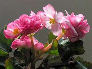 begonia plant with pink lovely flowers