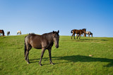 Herd of horses on a pasture poster