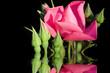 Leinwanddruck Bild the roses.
