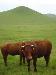 Vaches salers au pied du Volcan chamaroux