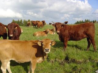 Elevage de vaches et genisses