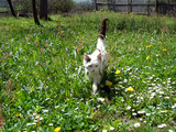 Young tomcat crawling among the daisies  in the garden poster