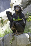 Female chimpanzee staring at camera poster