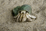 A land hermit crab (coenobita rugosus) with a green shell poster