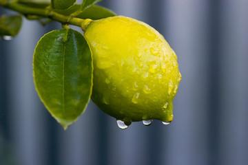 Early morning dew on a lemon tree
