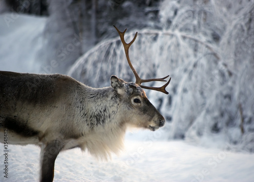 Foto op Aluminium Scandinavië reindeer in natural enviroment in scandinavia