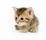 A small kitten rests and looks left on a white background poster