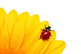 Fototapety Ladybird