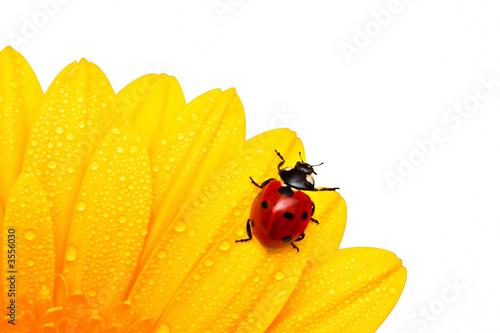 Poster Ladybird