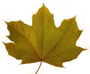 studio close up of maple leaf