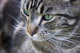 Close up of a handsome green-eyed tabby cat. poster