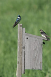 Two tree swallows poster