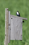 Tree swallow on a bird house. poster