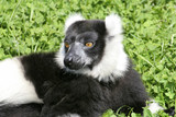 Alert lemur poster