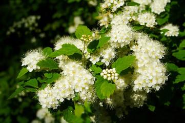 white flowers; white; blossom; garden; spring; flowering