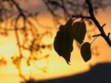 foglie nel cielo di un tramonto autunnale poster