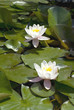 white waterlilies blooming in pond