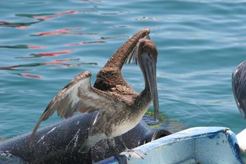 Pelican Ready for Flight