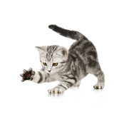 British Shorthair kitten in front of a white background - Fine Art prints