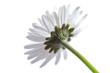A daisy against white background