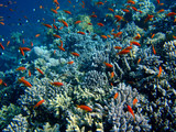 Underwater landscape with Scalefin Anthias and coral. Red Sea poster