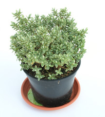 Green plant in apot isolated over white