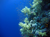 Underwater landscape with many small fish. The Red sea poster