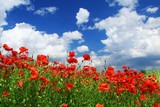 field of red poppies with cumulus clouds,  poster