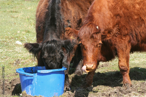 calf licking their nose