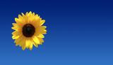 Sunflower Season Backdrop poster