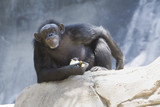 Chimpanzee staring at camera poster