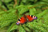 peacock butterfly on the green spruce poster