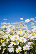 Leinwanddruck Bild Field of daisies against bright blue sky
