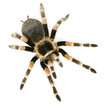 Brachypelma smithi in front of a white backgroung - 3581649