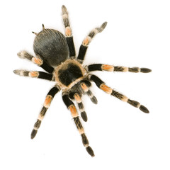 Brachypelma smithi in front of a white backgroung