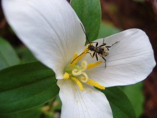 beetle on trillium flower