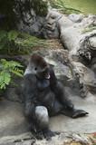 Adult silverback bared teeth gorilla  poster