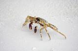 Ghost crab running through the white sand beach poster