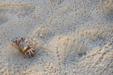 Ghost crab on the sandy tropical beach poster